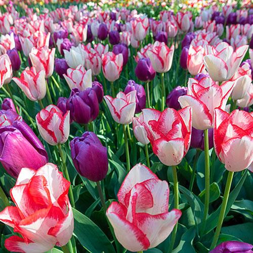 Beauty Trend Tulip Mix