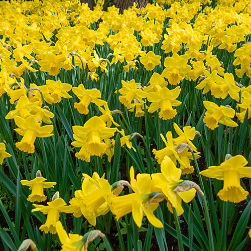 Giant Trumpet Daffodil Standard Value