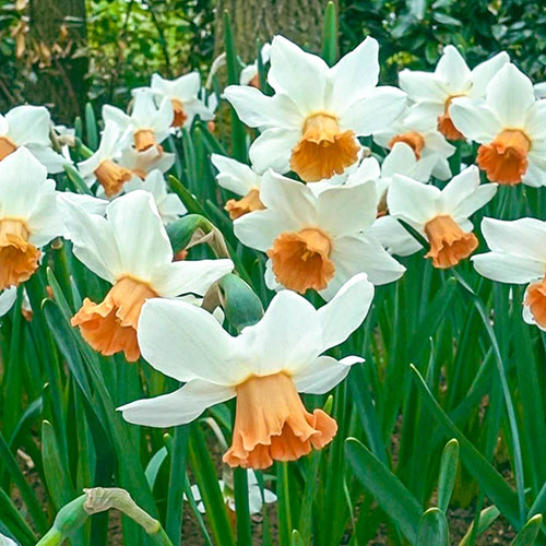 Large-Cupped Daffodil Accent