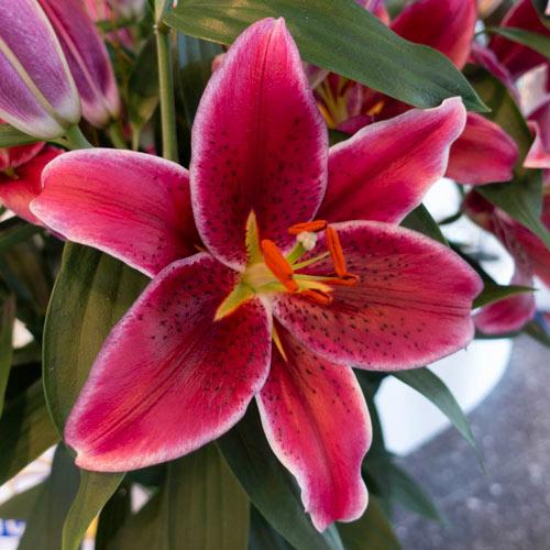 Corvara Oriental Lilies K Van Bourgondien Wholesale Bulbs