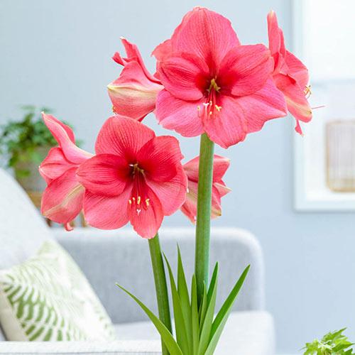 Jumbo Dutch Amaryllis Pink Surprise (Hippeastrum)