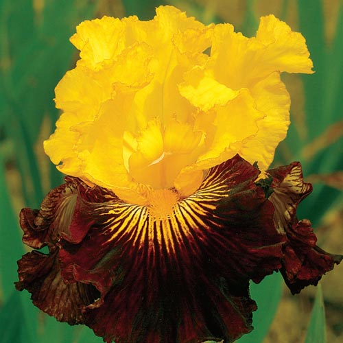 German Iris Pirate Ahoy