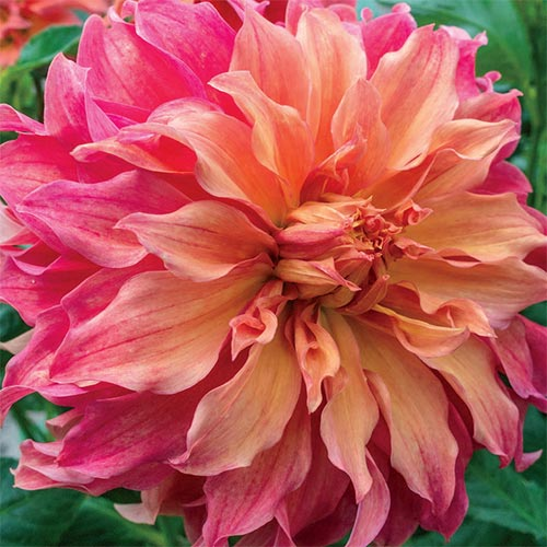 Giant Dinnerplate Dahlia Belle of Barmera