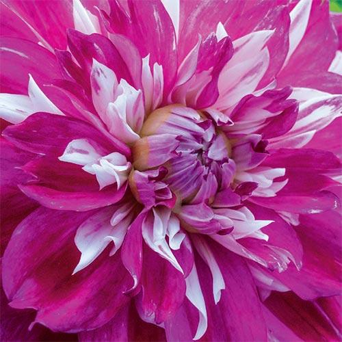 Colorful Decorative Dahlia Optic Illusion