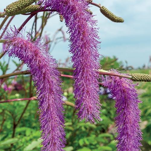 Lilac Squirrel Bottlebrush Plant