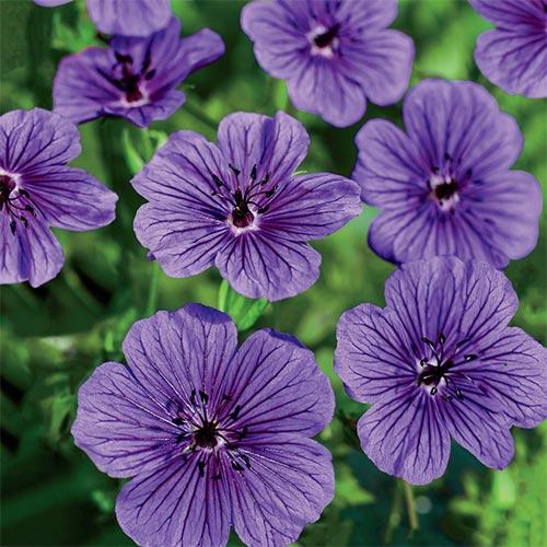Geranium Daily Purple<sup>&reg;</sup>