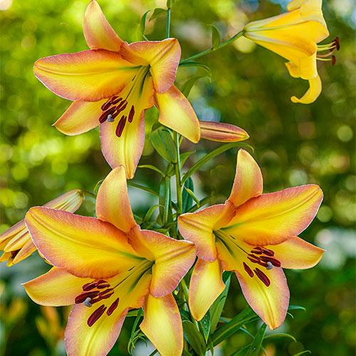 Trumpet Lily Rising Moon Spring Planting K Van