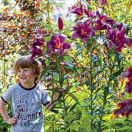 Giant Hybrid Lily Purple Prince