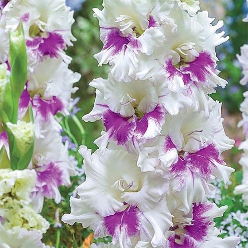 Hybrid Gladiolus Kirov
