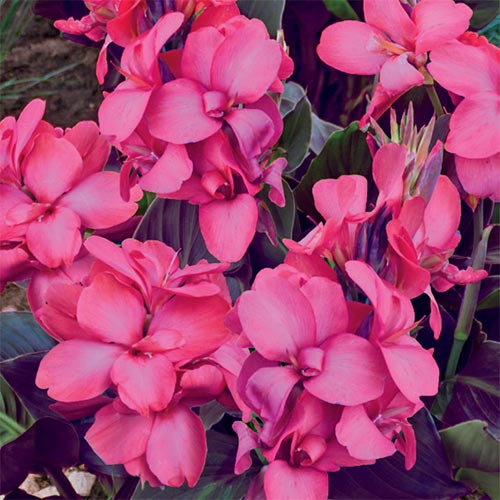 Dwarf Canna Pink And Roses