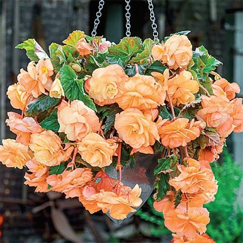 Splendide Begonia Apricot