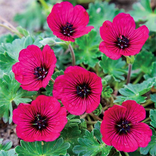 Hardy Geranium Jolly Jewel Red