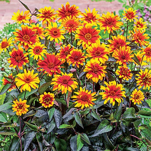 Heliopsis Breeders Mix