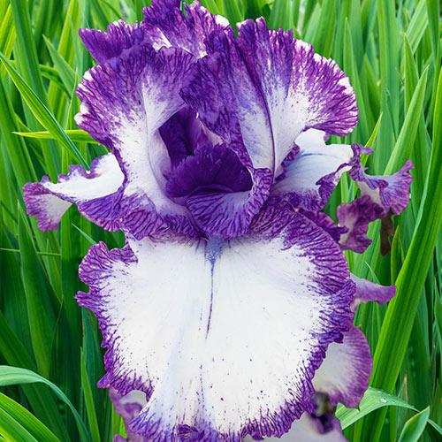 Reblooming German Iris Mariposa Autumn