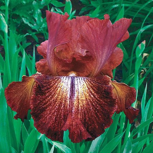Reblooming German Iris Paprika Fono's
