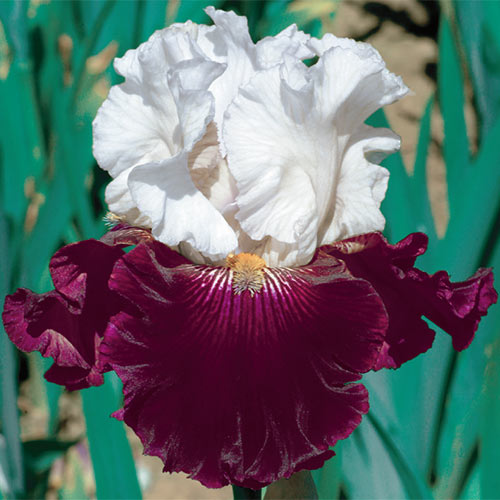German Iris Twist Of Sheree