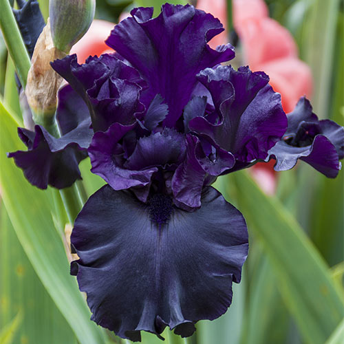 German Iris Raven Girl