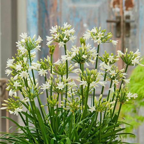 Agapanthus Summer Love White K Van Bourgondien
