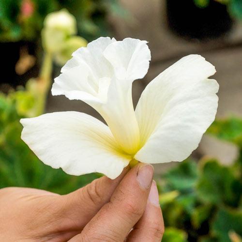 Daffodil Begonia White Shade Perennial K Van Bourgondien