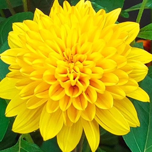 Helianthus Sunshine Dream Sun Perennial K Van Bourgondien