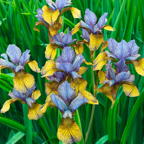 Siberian Iris So Van Gogh Sun Perennial K Van Bourgondien