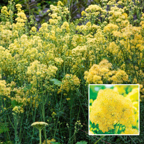 Yellow Meadow Rue Sun Perennial K Van Bourgondien