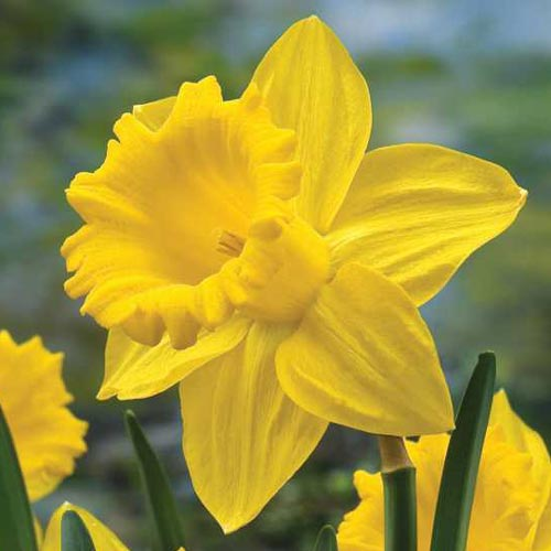 Full Size Van >> Trumpet Daffodil Improved King Alfred | K. van Bourgondien