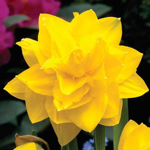 Double Daffodil Golden Ducat K Van Bourgondien