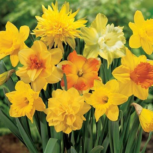 Yellow Daffodil Blend