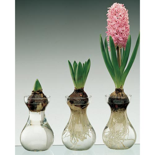 Traditional Dutch Hyacinth Glasses K Van Bourgondien