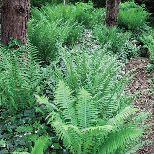 Hardy Native Fern Mix