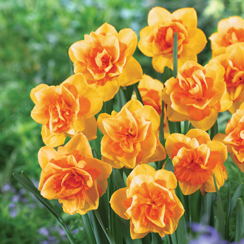 Double Daffodil Double Beauty