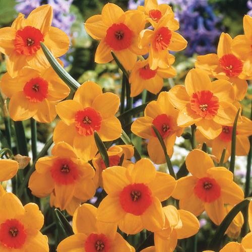 Jonquilla Daffodil Kedron
