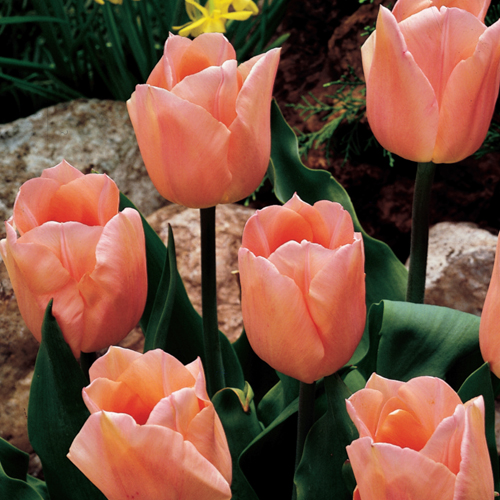 Early Spring Bloomers Single Early Tulip Apricot Beauty