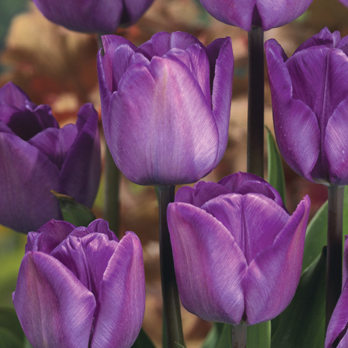 Triumph Tulip Magic Lavender