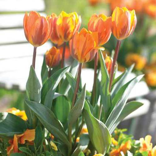 Triumph Tulip Princess Irene K Van Bourgondien