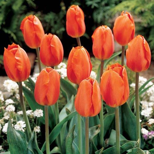 darwin hybrid tulip lighting sun k van bourgondien