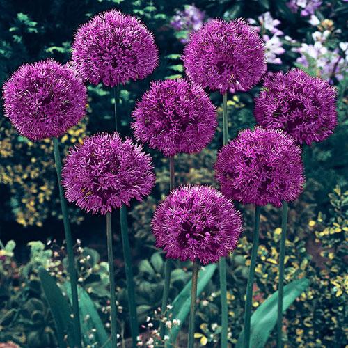allium purple sensation k van bourgondien. Black Bedroom Furniture Sets. Home Design Ideas