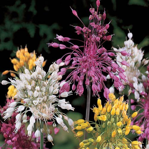 Allium Fireworks Mixture