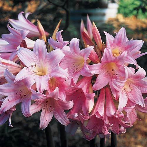 Amaryllis belladonna k van bourgondien for Amaryllis belladonna vente