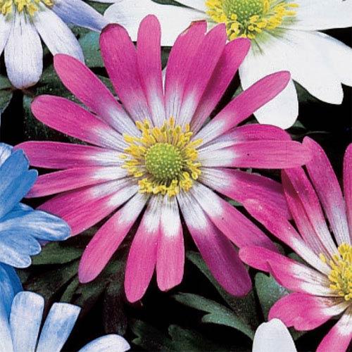 Anemone Blanda Pink Star K Van Bourgondien