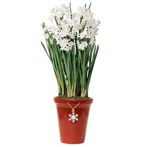 Paperwhite narcissus ziva k van bourgondiens mightylinksfo