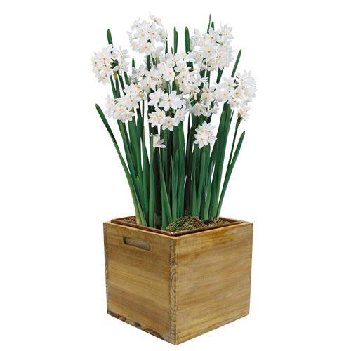 Paperwhite Narcissus Ziva K Van Bourgondien