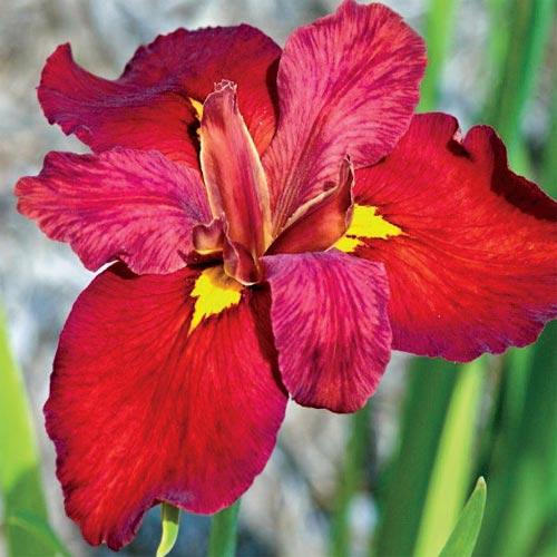 Louisiana Irises: Ann Chowning Iris From K. Van Bourgondien