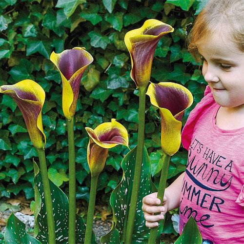 Hybrid Calla Lilies Purple Haze