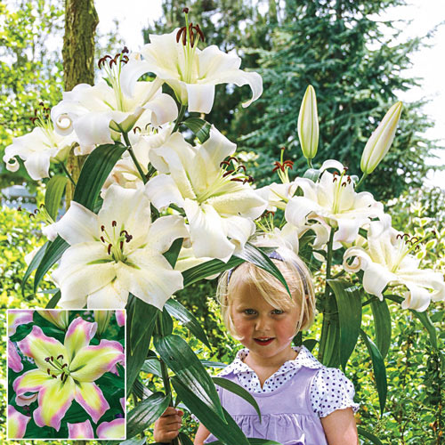 Giant Hybrid Lily Pretty Woman