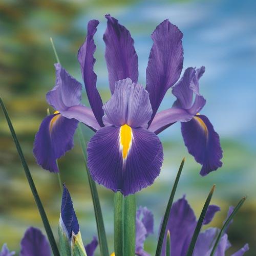 Elegant Blue Magic Dutch Iris From K Van Bourgondien