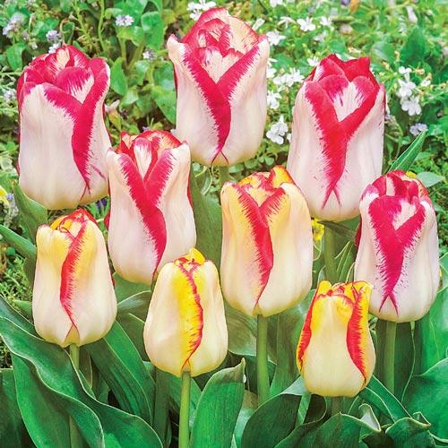Triumph Tulip Aquarel