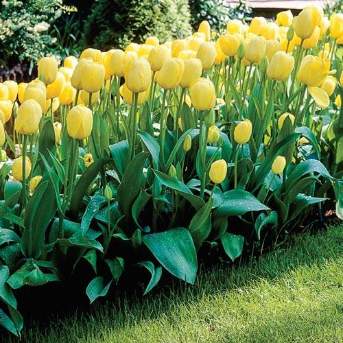 Darwin Hybrid Tulip Moonwalker