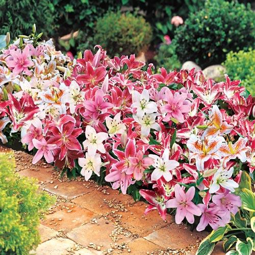Dwarf Oriental Lily Mix K Van Bourgondien